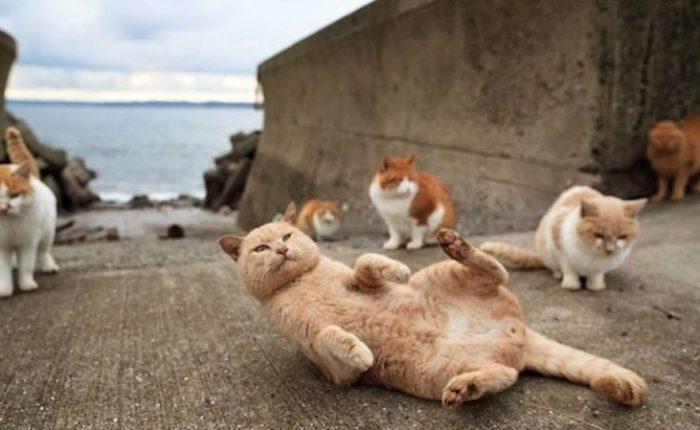 Isola dei Gatti Giappone - Tashirojima