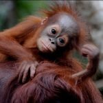 Il Parco Nazionale del Tanjung Puting in Indonesia