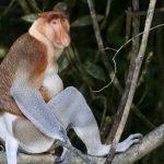 Le Scimmie Nasiche del Borneo