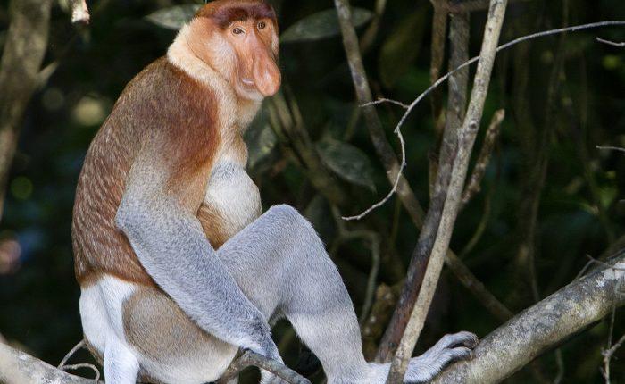 Scimmie nasiche del Borneo