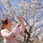 Fioritura dei ciliegi in Giappone